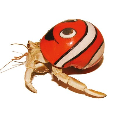 Large Crazy Crabs (Live) in Painted Shells