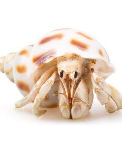 Crazy Crabs