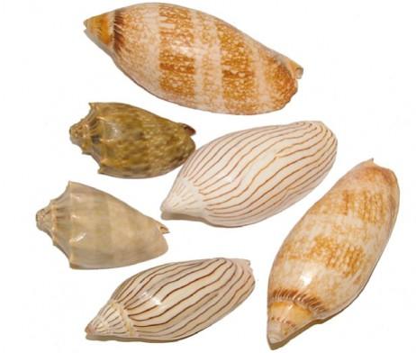 Volute Shells Assorted